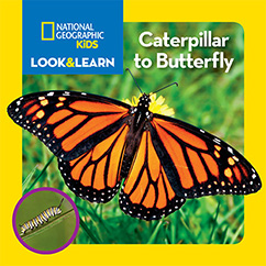 Cover for National Geographic Kids Look and Learn: Caterpillar to Butterfly